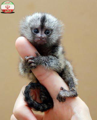 نتیجه تصویری برای میمون بند انگشتی